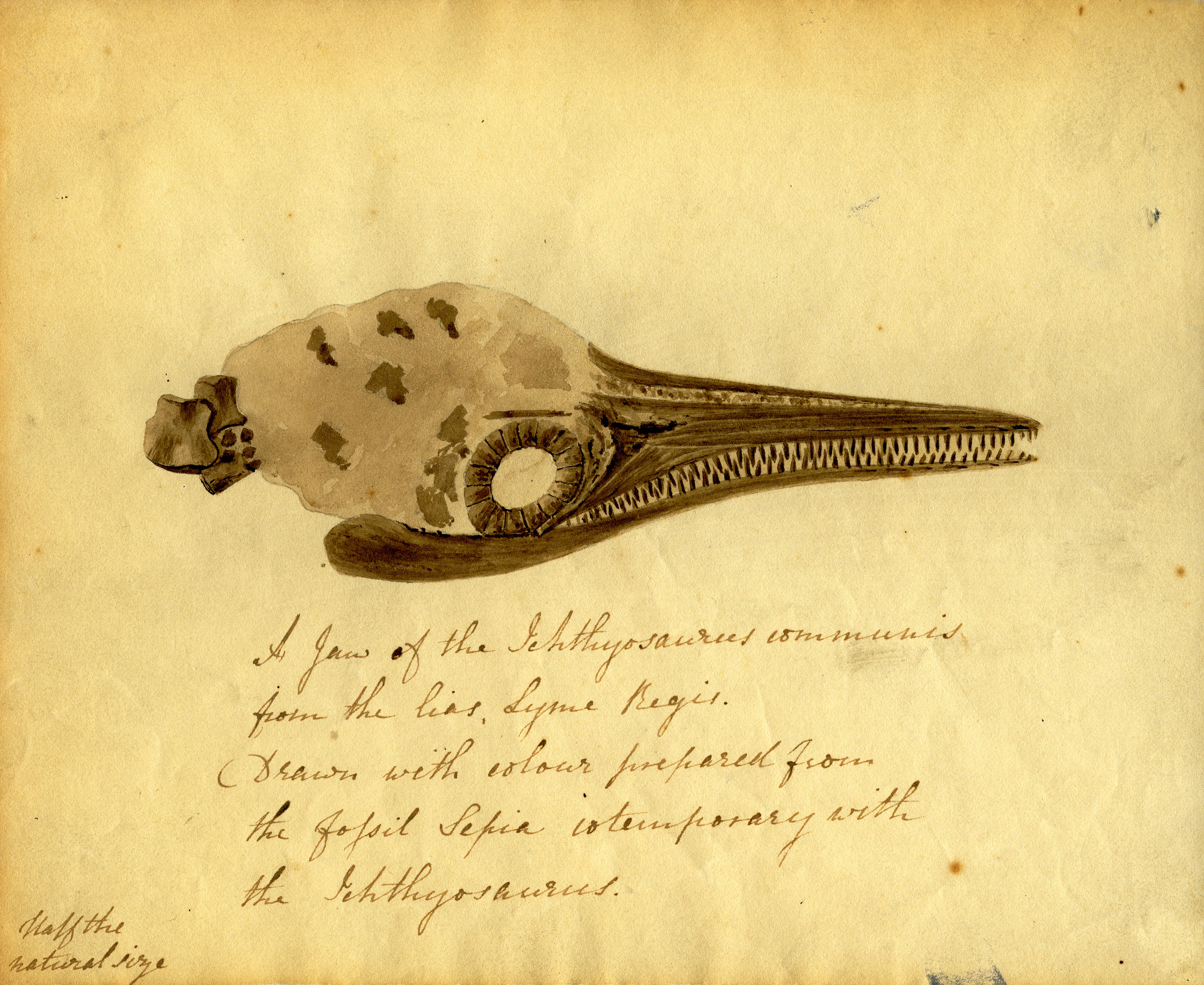 A letter from the palaeontologist Elizabeth Philpot to Mary Buckland, dated 9 December 1833, containing a sketch of an ichthyosaur skull painted in ink from a fossil squid of the same age as the ichthyosaur.
