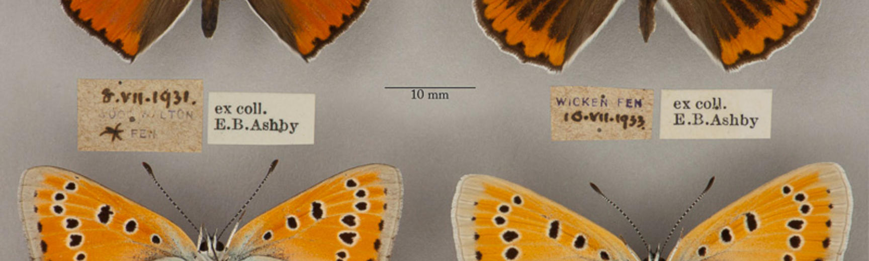 large copper butterfly