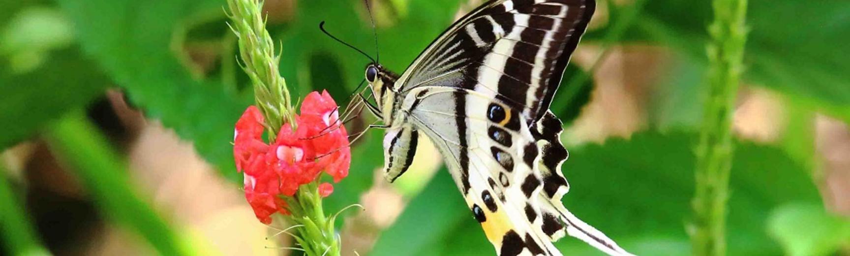 Natewa Swallowtail (Papilio natewa)