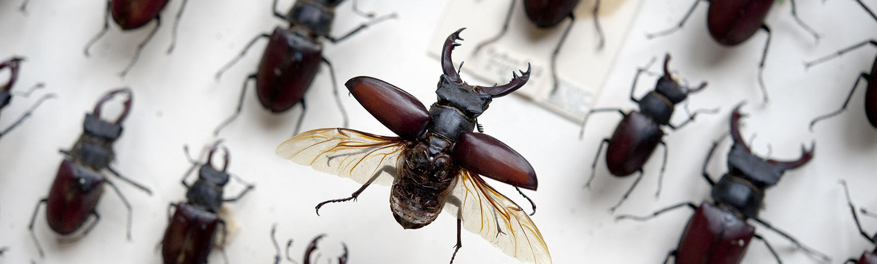 stag beetle 4 oumnh