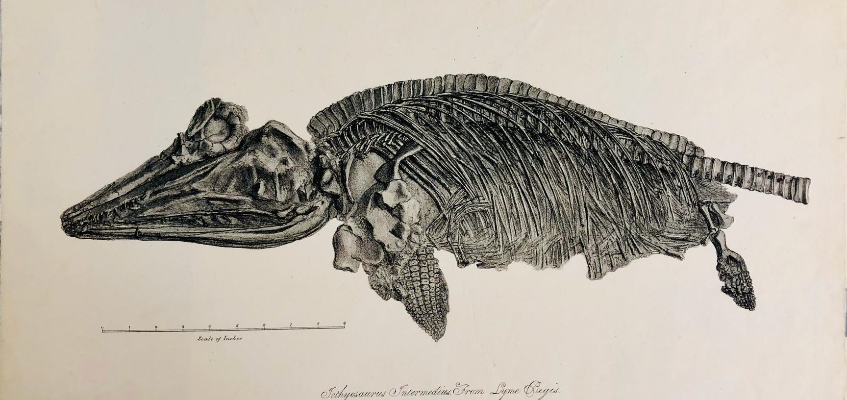 4 ichthyosaurus intermedius from lyme regis lithograph by nathaniel whittock of oxford c 1827 mnh library and archives