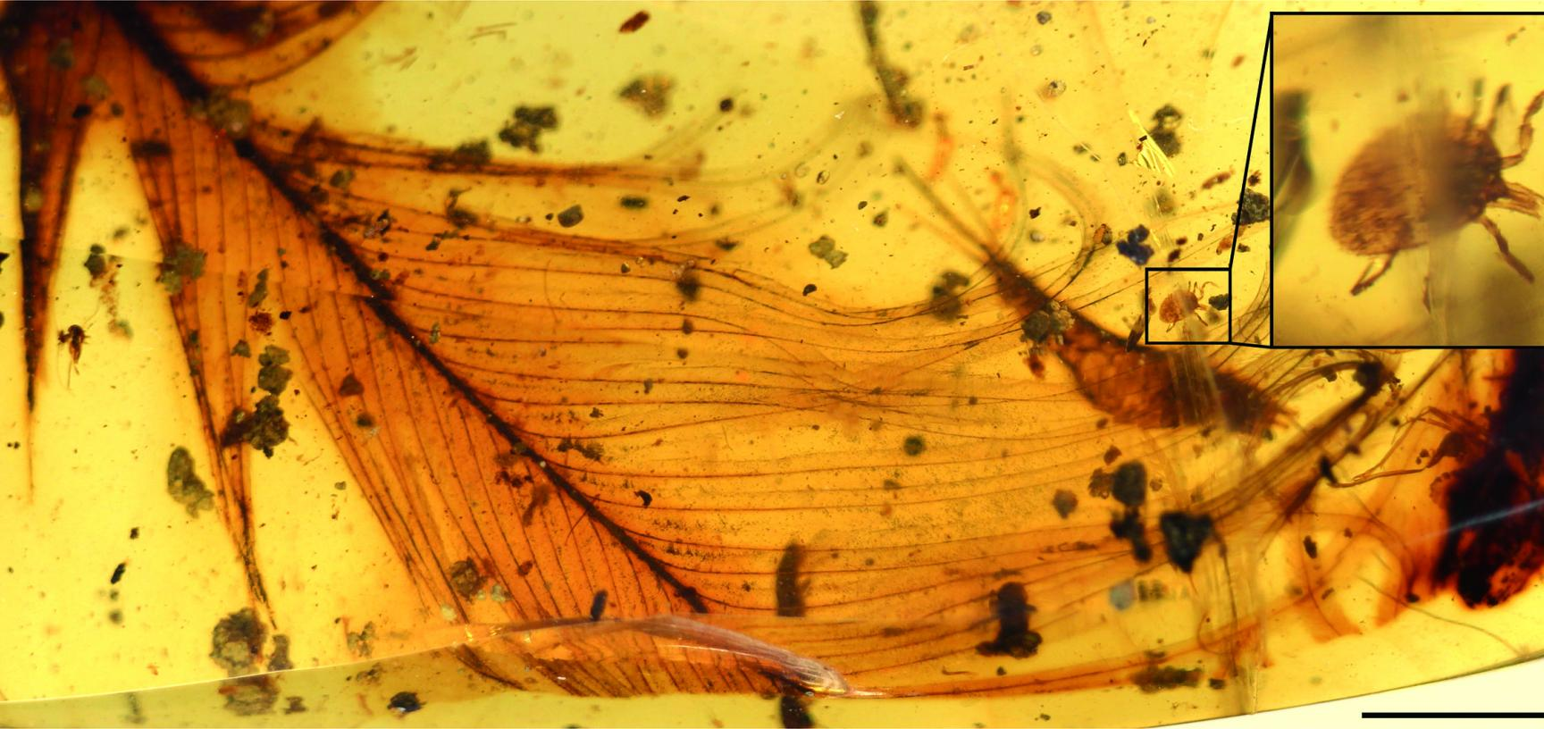A Cornupalpatum burmanicum tick grasping a feather in 100-million-year-old Burmese amber.