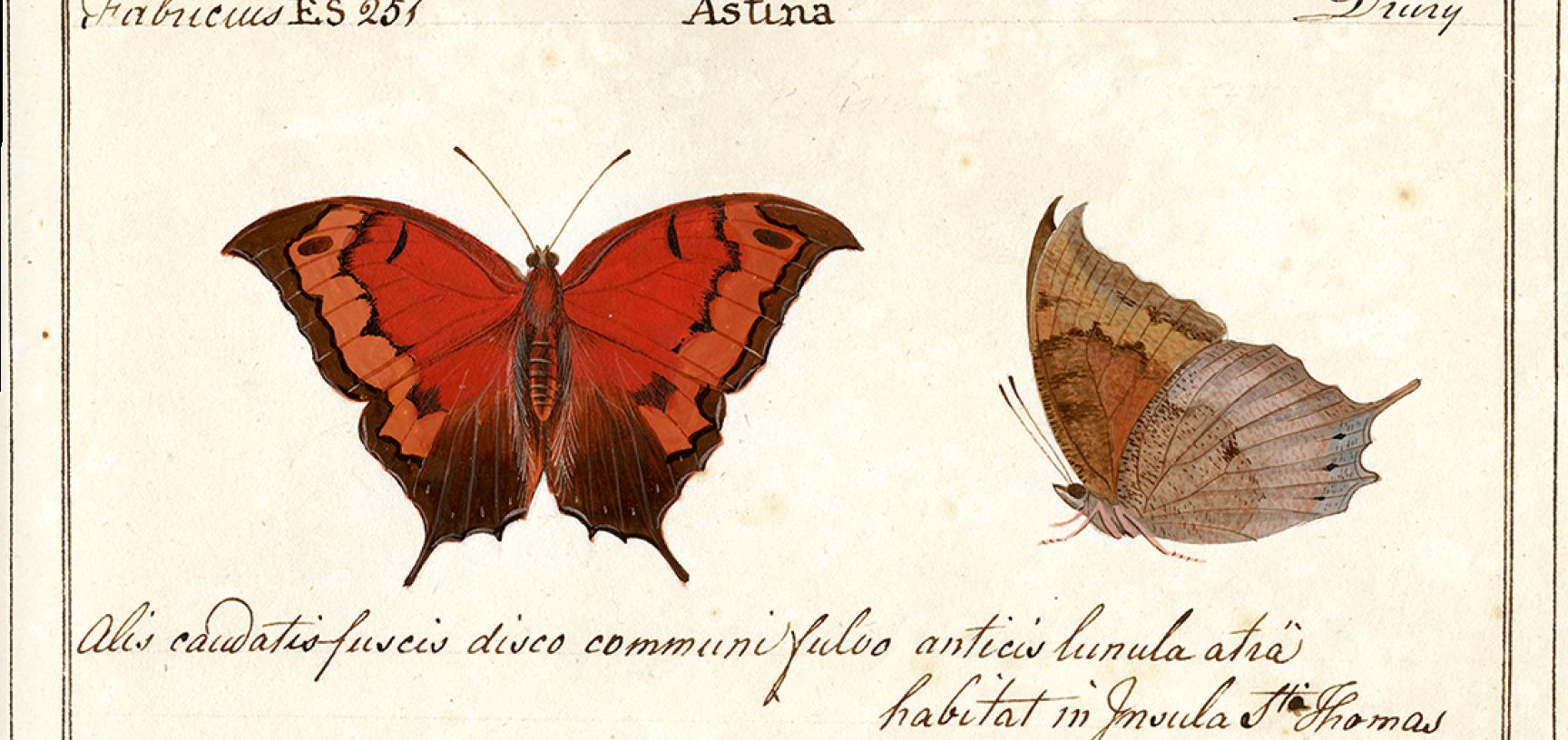 Papilio astina