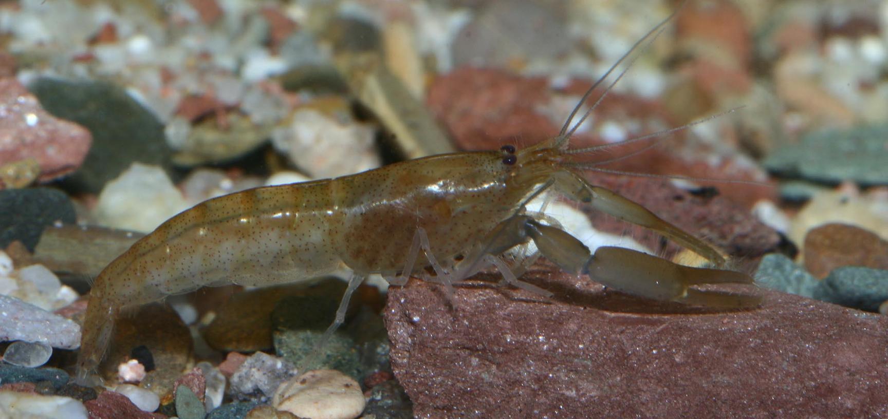 Euryrhynchus tomasi De Grave, 2007