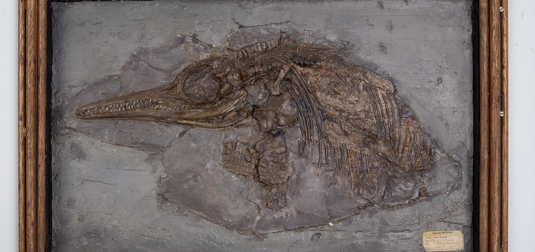 Partial skeleton of a young ichthyosaur with stomach contents from the Lower Jurassic of Lyme Regis. Collected by Mary Anning at some time before 1836.