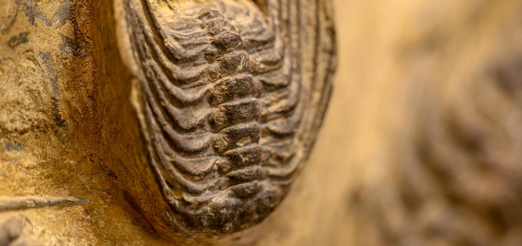 Selenopeltis trilobite
