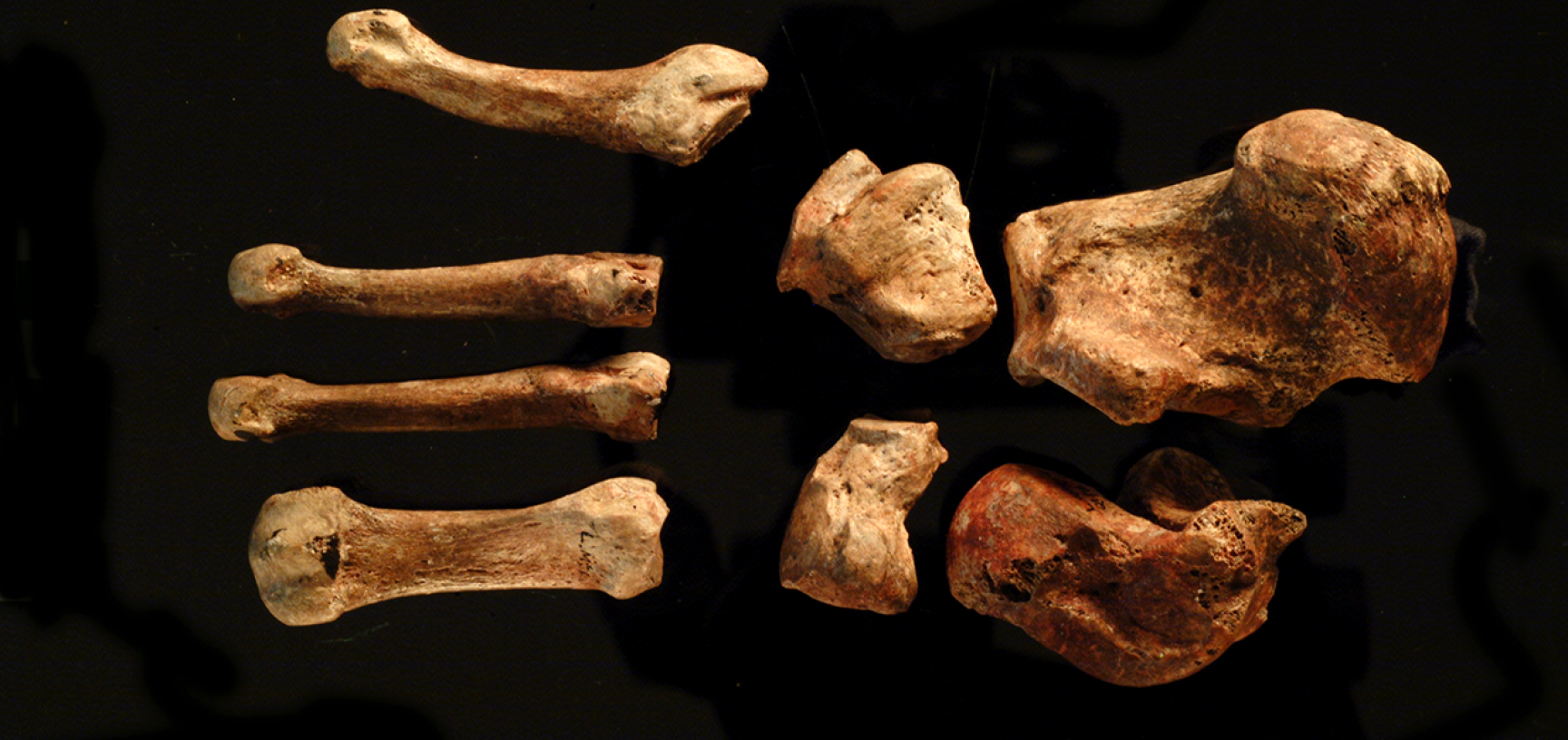 Bones of the left foot.