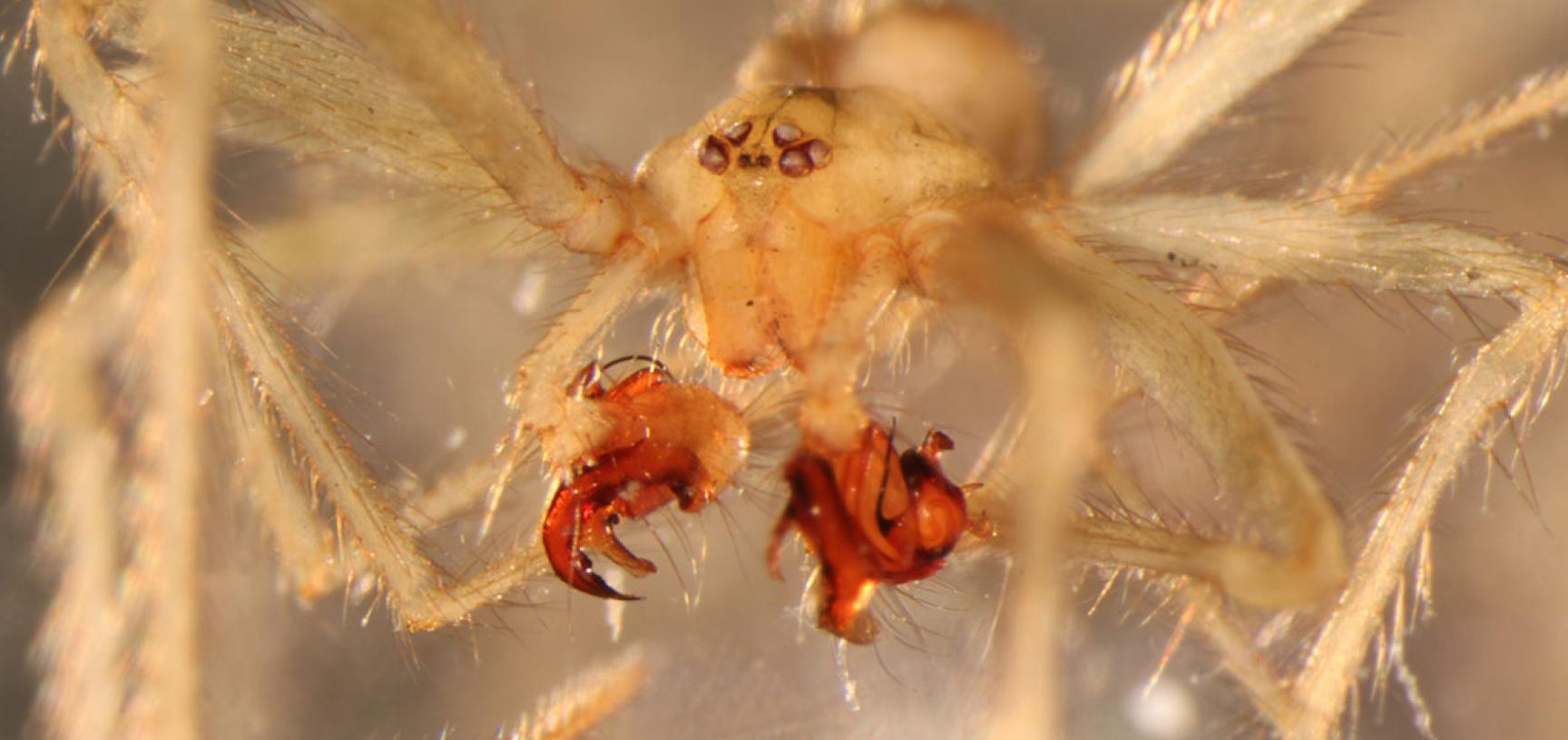 Male Nesticus georgia, with elaborately structured palps used to transfer sperm