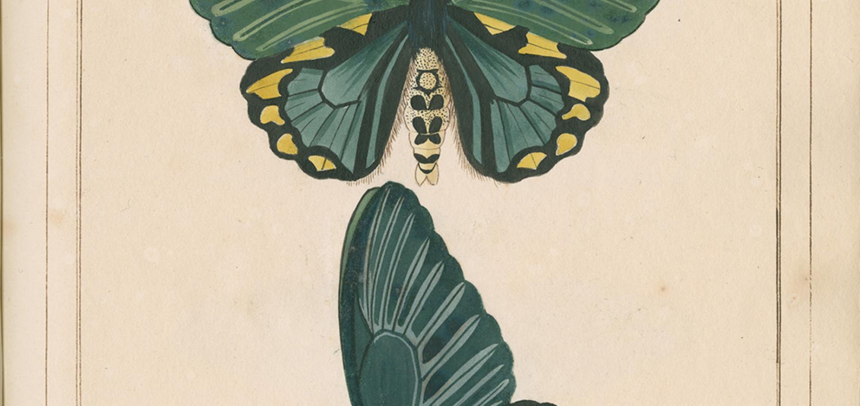 Papilio remus