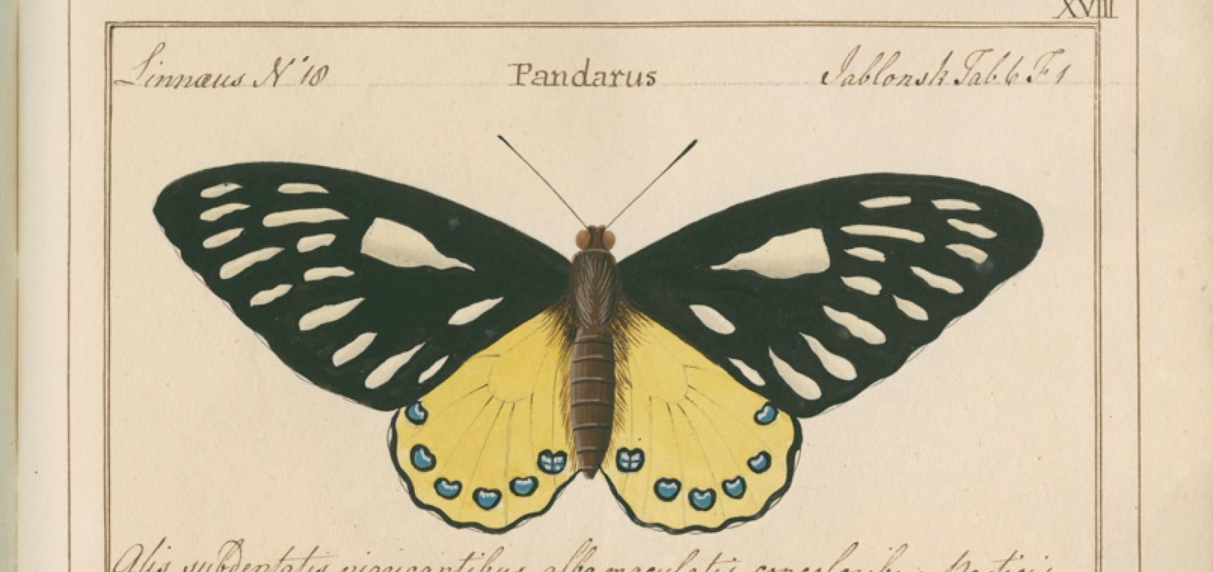 Papilio pandarus