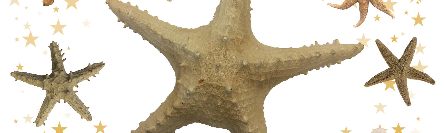 An image of various starfishes on a white background, with a large starfish in the centre and small gold and beige coloured stars around the outer image edges.
