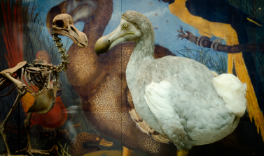 Dodo model on display
