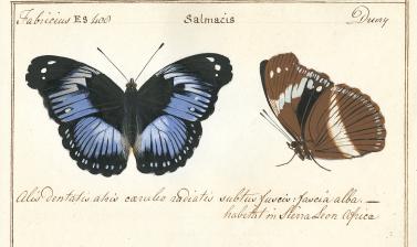 Papilio salmacis