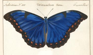 Papilio telemachus