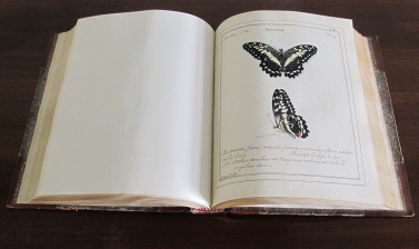Jones's drawing of Papilio demoleus in the Volume I of his six volume manuscript of paintings