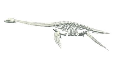 Long necked skeleton of a plesiosaur, Oxford University Museum of Natural History