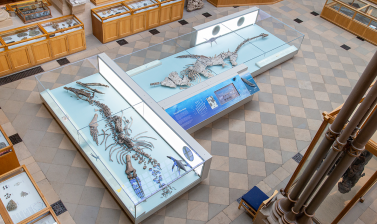 Plesiosaur and Pliosaur, Oxford University Museum of Natural History