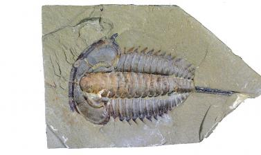 An exceptionally preserved trilobite from the Chenjiang biota, China