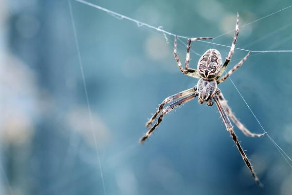 A black and brown spider hanging from a web. Image by Dev Leigh.