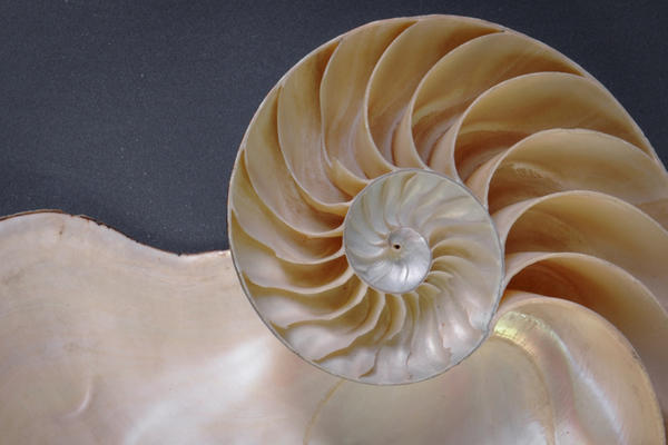 Image shows a large nautilus on a dark background