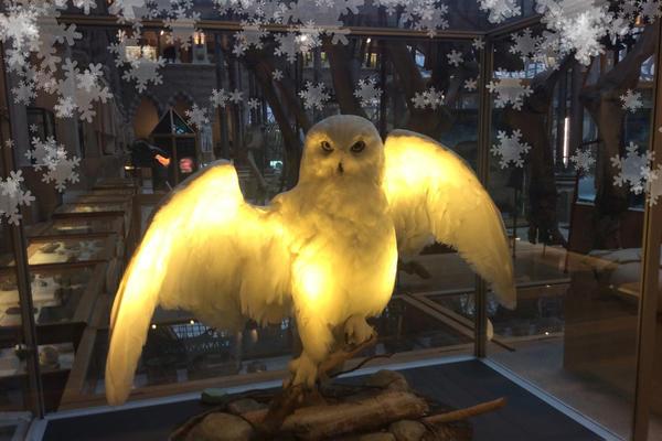 snowy owl at OUMNH