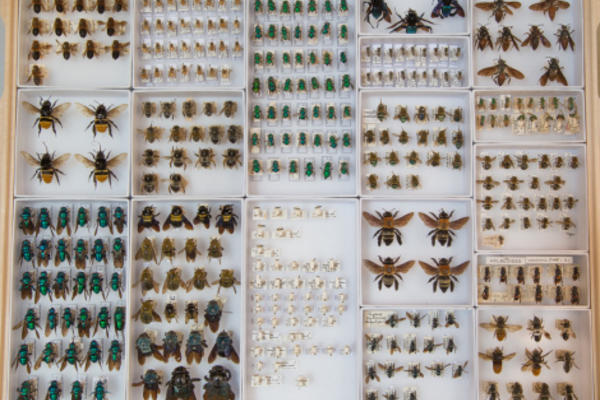 Bee drawer at OUMNH