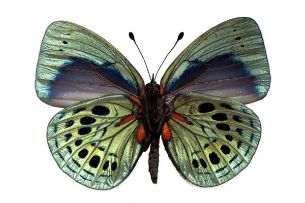 Antigonis felderi butterfly