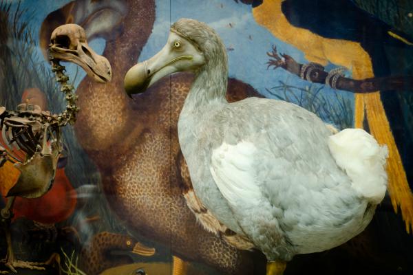Dodo model on display