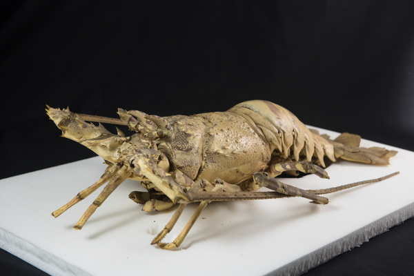 Crustacea collection, Oxford University Museum of Natural History