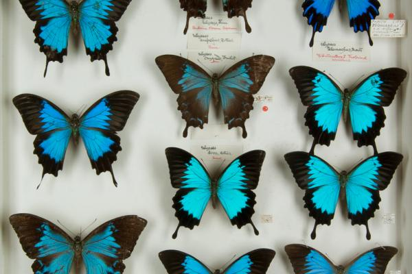 Papilio, Lepidoptera collection in Oxford