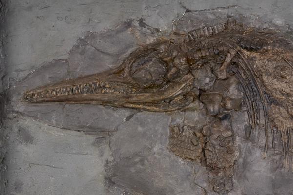 Mary Anning's ichthyosaur