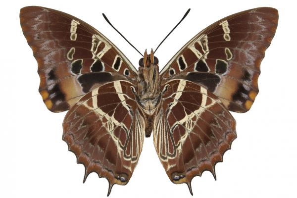 lepi3189 katerae carpenter ventral copy
