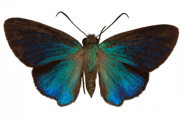 Immaculata carpenter butterfly