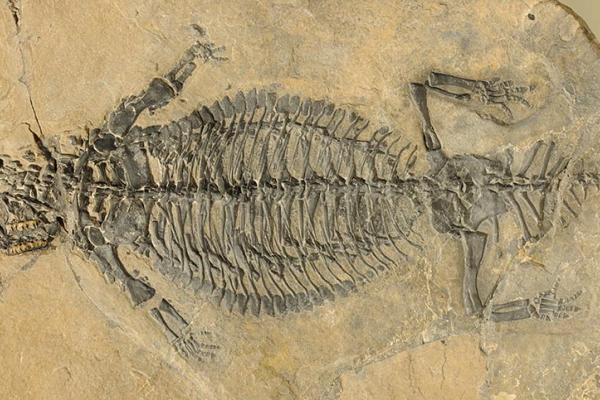 lrfig1 fossilplatte eusaurosphargis dalsassoi