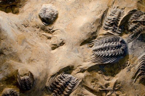 Trilobite slab