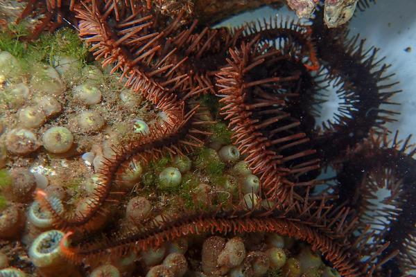 Starry eyes on the reef: colour-changing brittle stars can see