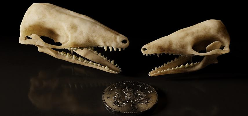 Two mammal skulls facing one another against a dark background and a five pence piece for scale