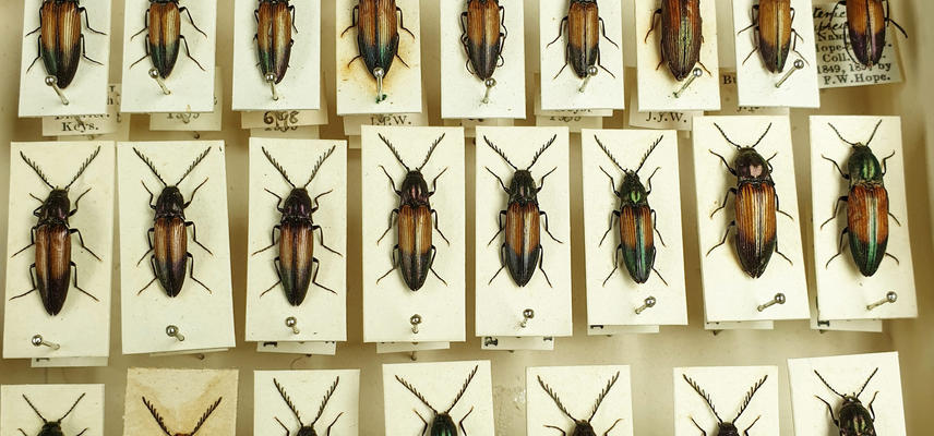 Image showing three rows of pinned Coleoptera specimens from the HOPE insect collection. The insects are black with some brown on their wings.