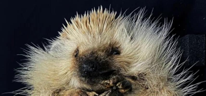 hedgehog crop