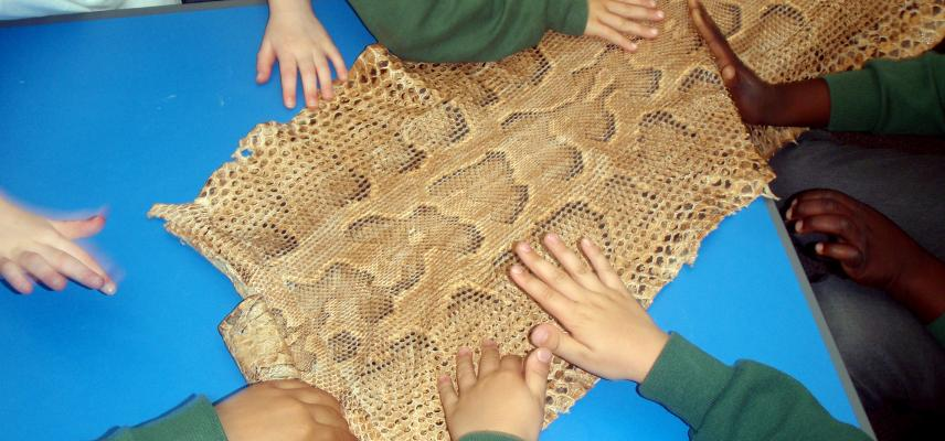 Primary school children touching snake skin