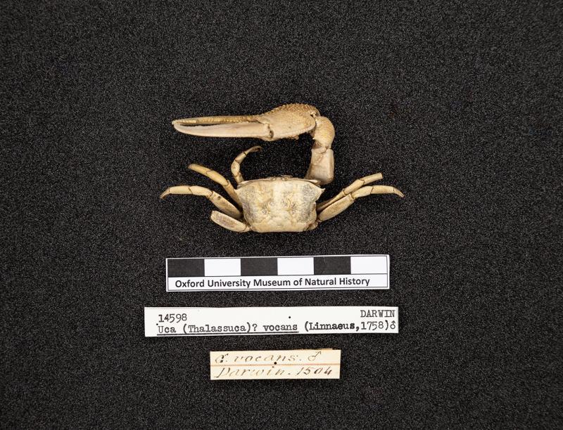 crustacean darwin