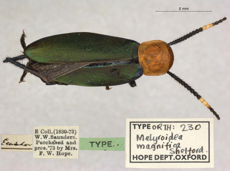 Melyroidea magnifica